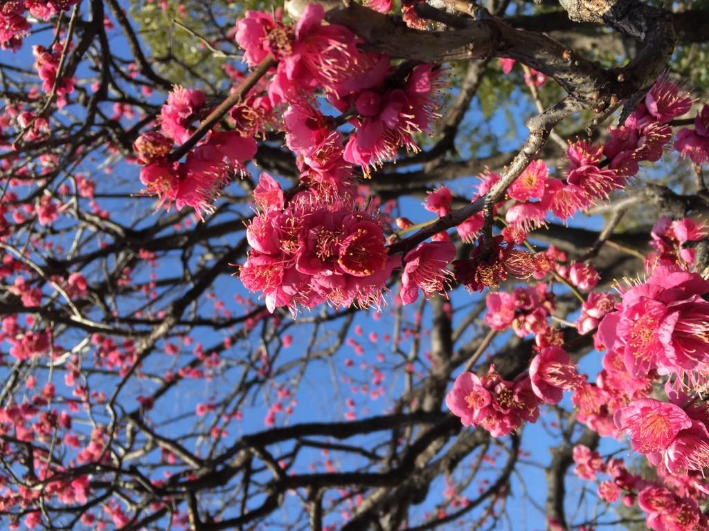 梅は~咲いたか~桜はまだかい~♪
